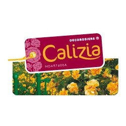 Calizia décorosier