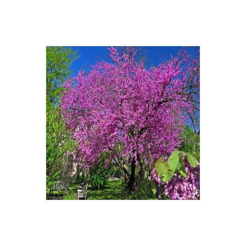 arbre de jud e jardinerie glomot votre horticulteur p pini riste en ligne. Black Bedroom Furniture Sets. Home Design Ideas