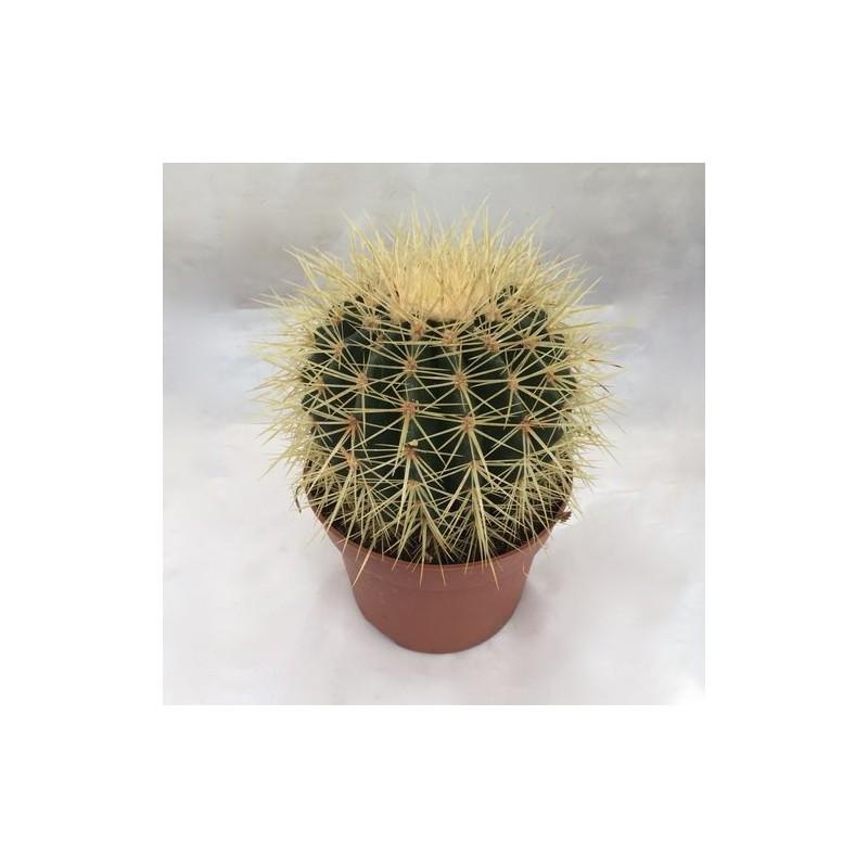 Cactus 39 coussin de belle m re 39 jardinerie glomot votre for Plantes vertes en ligne