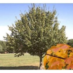 Erable champêtre