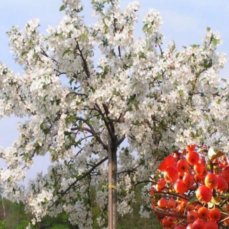 Pommier à fleur blanc