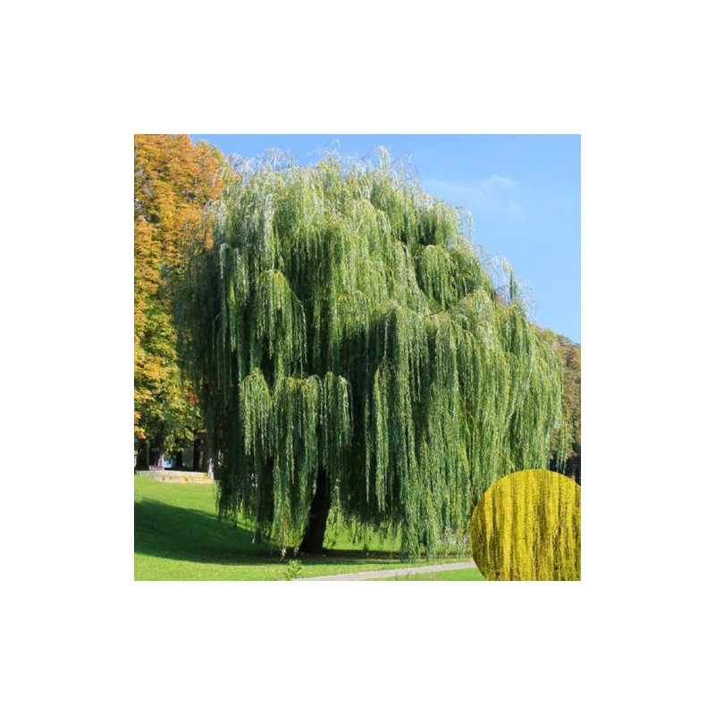Saule pleureur jardinerie glomot votre horticulteur - Planter un saule pleureur ...