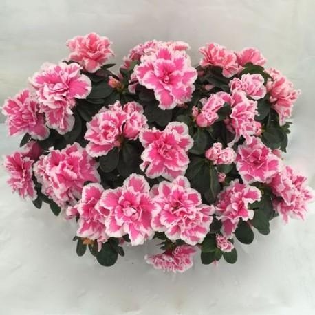 http://jardiner-en-ligne.fr/49-large_default/azalee-d-interieur.jpg