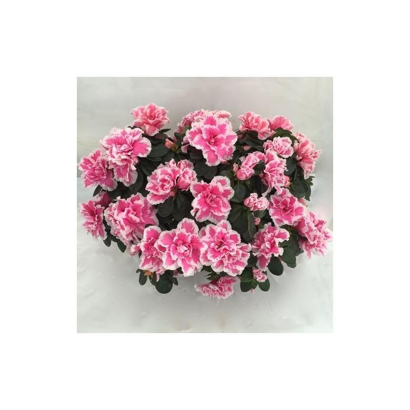 http://jardiner-en-ligne.fr/49-thickbox_default/azalee-d-interieur.jpg