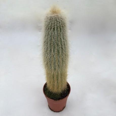 Cactus duveteux jardinerie glomot votre horticulteur for Plantes vertes en ligne