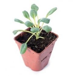 Mertensia maritima plante huitre