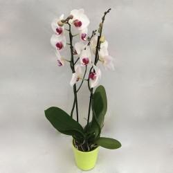 Phalaenopsis 2 branches