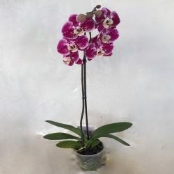 Phalaenopsis 1 branches