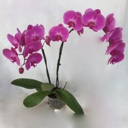Orchidée géante