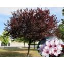 Prunus Pissardii