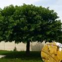 Murier platane (sans fruits)