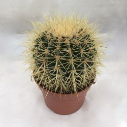Cactus 'Coussin de belle-mère'
