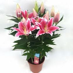 Lys fleuri en pot