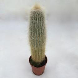 Cactus duveteux