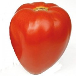 Tomate fleurette greffée